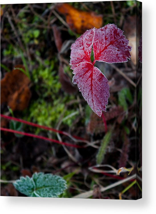 Strawberry Acrylic Print featuring the photograph Strawberry Frost by John Aldabe