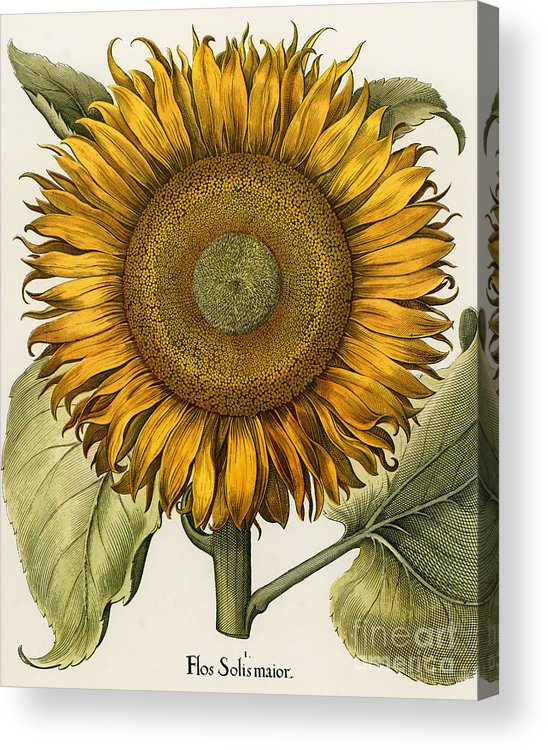 1613 Acrylic Print featuring the photograph Sunflower by Granger