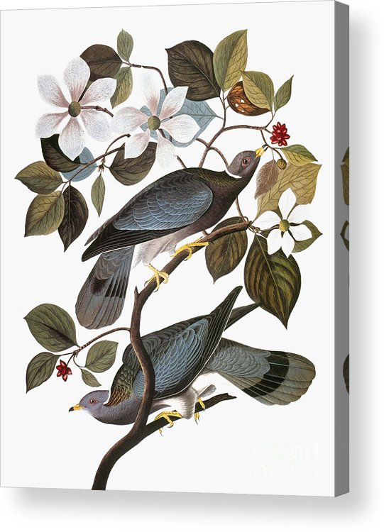 1838 Acrylic Print featuring the photograph Audubon: Pigeon by Granger