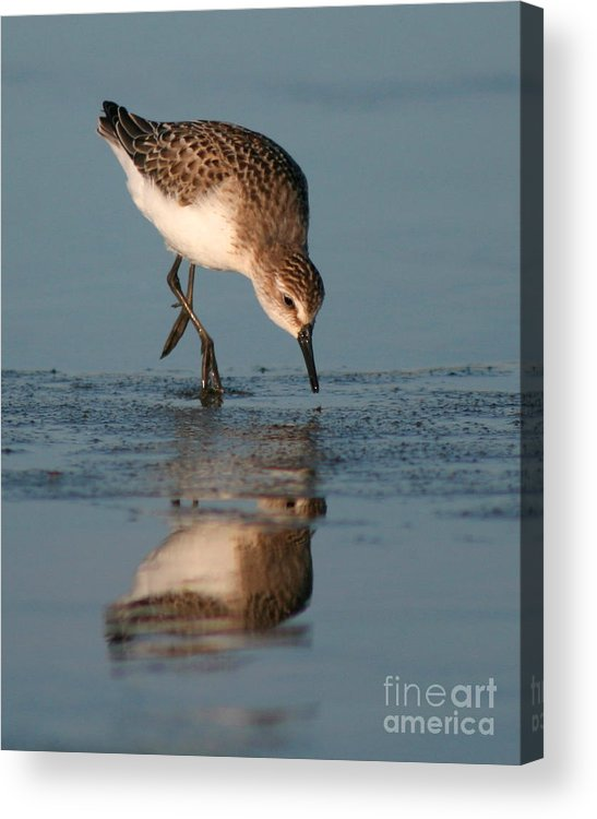 Sanderling Acrylic Print featuring the photograph Ballet Feeding Of A Sanderling by Max Allen