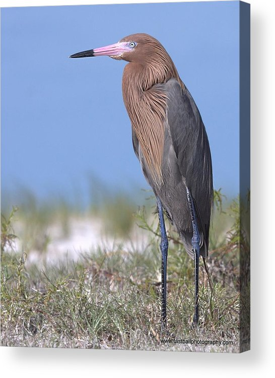 Reddish Egret Acrylic Print featuring the photograph Big Red by Steve Leach