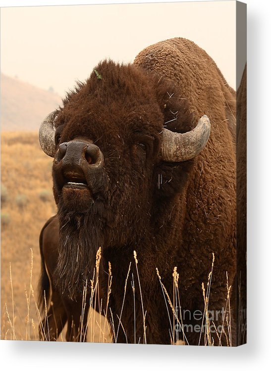 Bison Acrylic Print featuring the photograph Bison Bellowing At The Sky by Max Allen