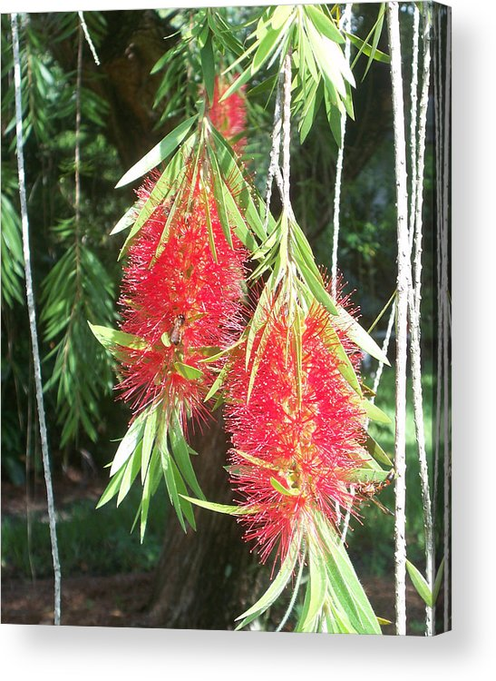 Florida Acrylic Print featuring the photograph Bittersweet Bloom II by Chris Andruskiewicz