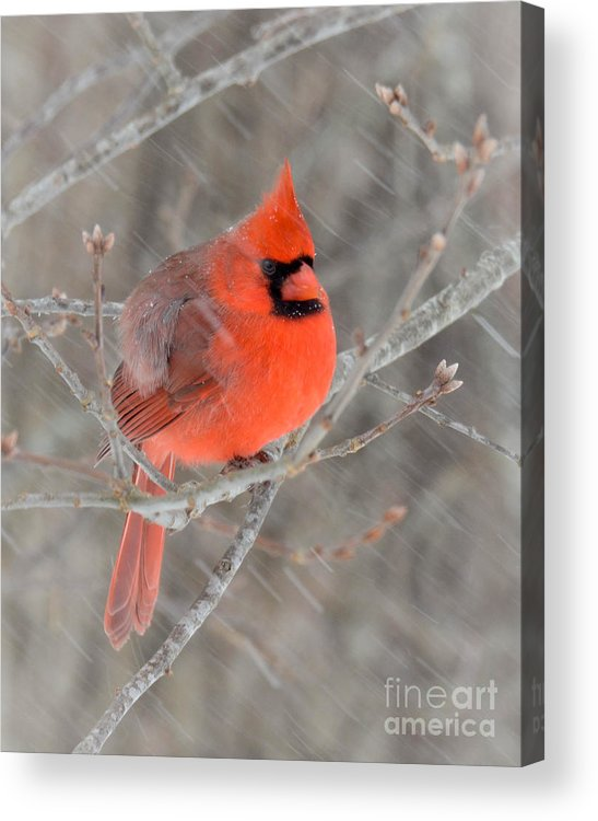 Cardinal Acrylic Print featuring the photograph Blowing Snow Cardinal by Amy Porter