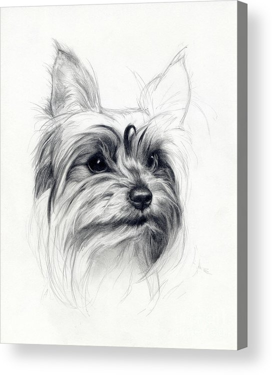 Dog Acrylic Print featuring the drawing Bobby by Tim Thorpe