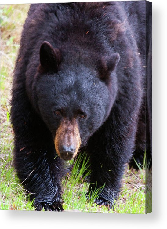 American Black Bear Acrylic Print featuring the photograph Breakfast Bell by Katie LaSalle-Lowery