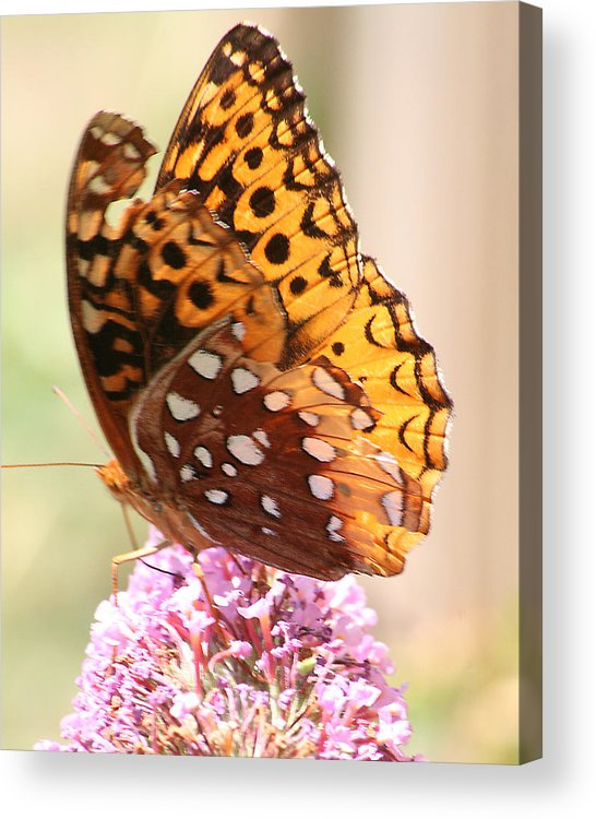Acrylic Print featuring the photograph Butter Fly Thrown Looking Left by Curtis J Neeley Jr