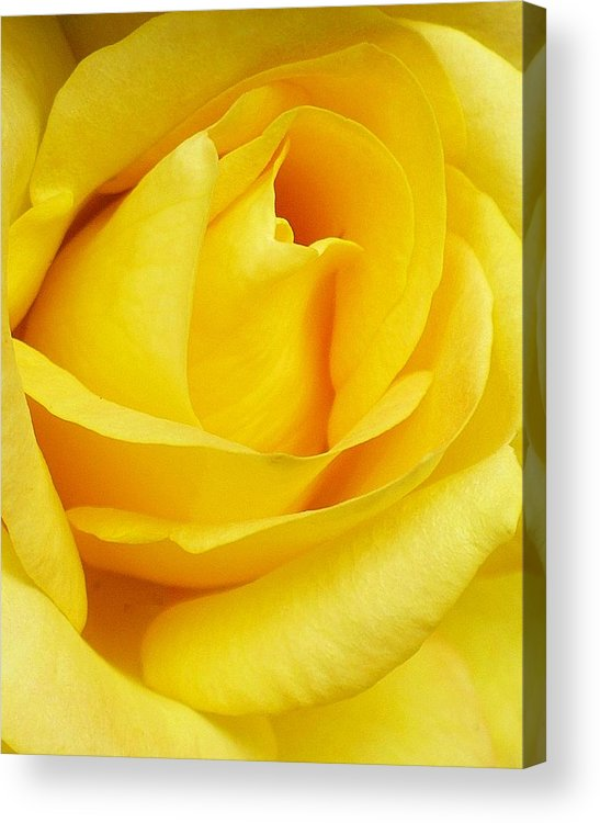 Botanical Acrylic Print featuring the photograph Buttercup Rose by Florene Welebny