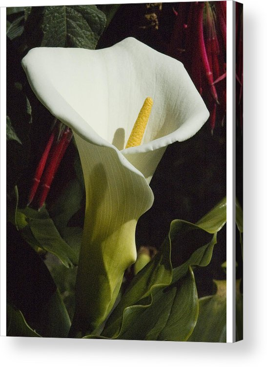 Flower Acrylic Print featuring the photograph Calla Lily by Jerry Weinstein