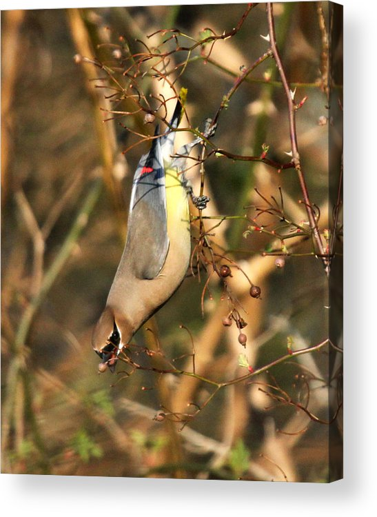 Cedar Waxwing Acrylic Print featuring the photograph Cedar Waxwing by Richard McRee