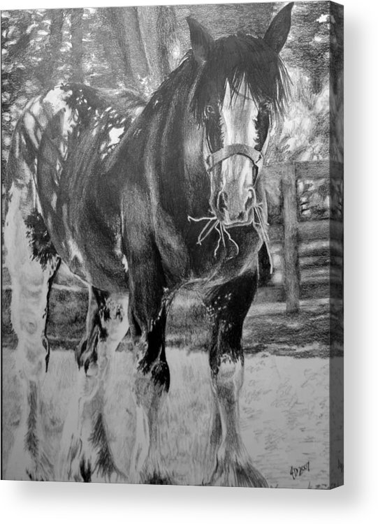 Horse Acrylic Print featuring the drawing Clydesdale by Darcie Duranceau