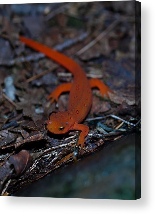 Reptiles Acrylic Print featuring the photograph Curious Eft by Peter Gray