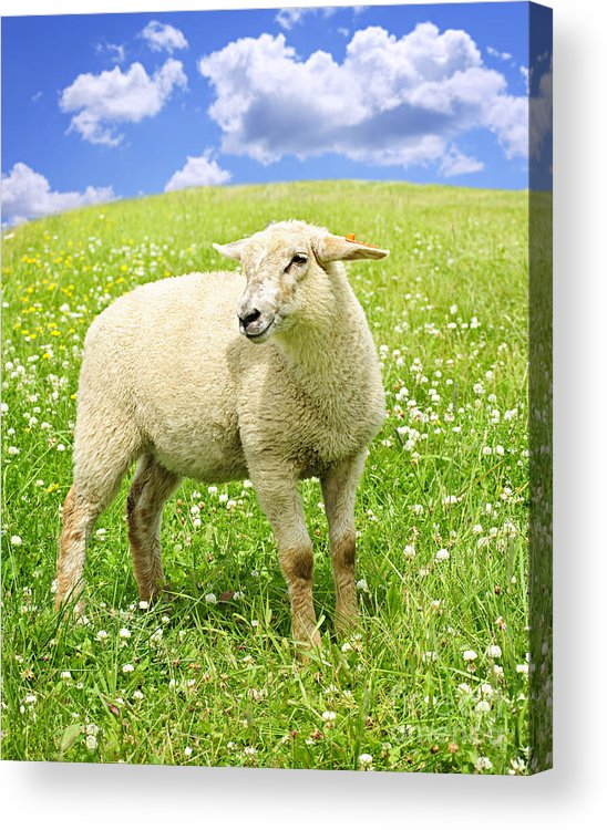 Sheep Acrylic Print featuring the photograph Cute Young Sheep by Elena Elisseeva