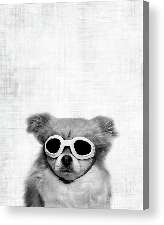 Dog Acrylic Print featuring the photograph Goggles by Delphimages Photo Creations