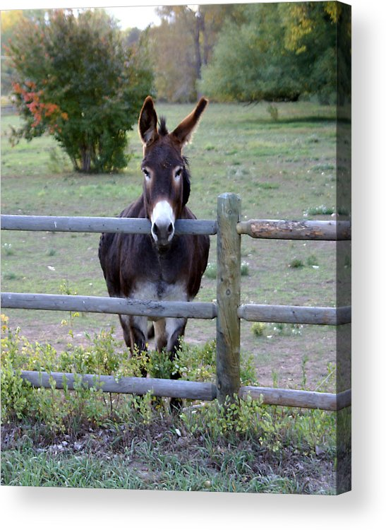 Donkey Acrylic Print featuring the photograph Donkey At The Fence by D Winston