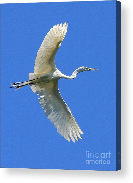 Animals Acrylic Print featuring the photograph Great White Egret In Flight by Wingsdomain Art and Photography