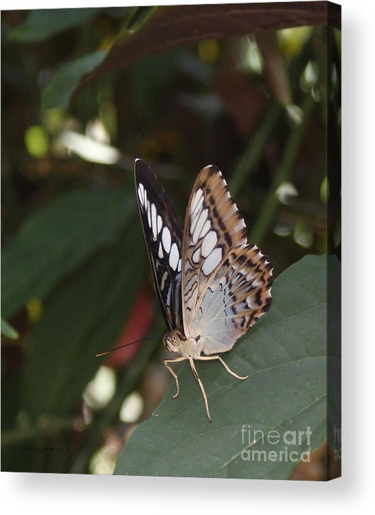 Butterfly Acrylic Print featuring the photograph Hints Of Blue by Shelley Jones