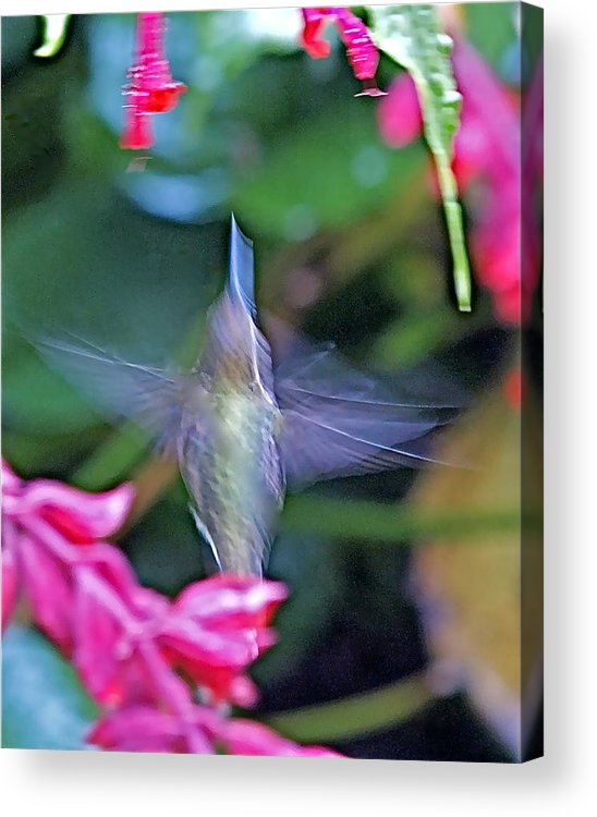 Hummingbird Acrylic Print featuring the photograph Hummingbird Angel by Peter Gray