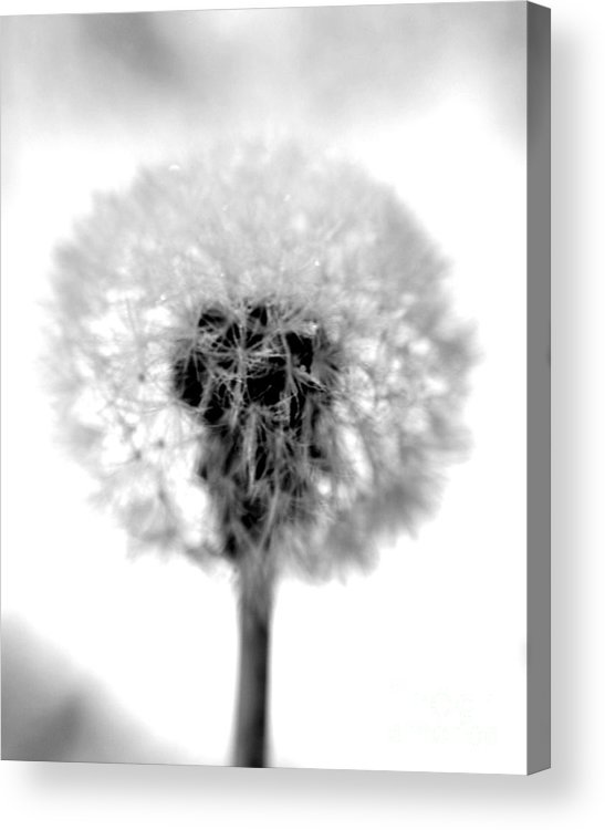 Dandelion Acrylic Print featuring the photograph I Wish In Black And White by Valerie Fuqua