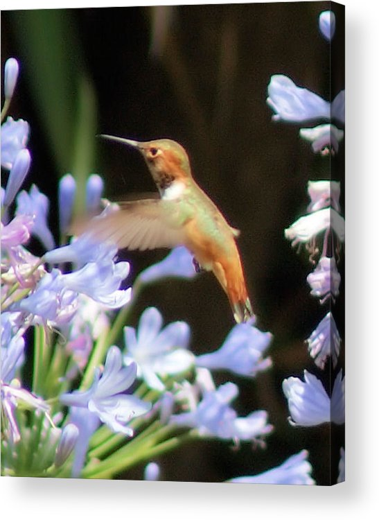 Hummingbird Acrylic Print featuring the photograph In Flight by Ellen Lerner ODonnell