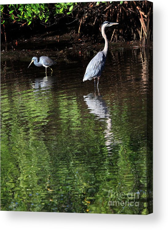 Sanibel Acrylic Print featuring the photograph Little Blue Great Blue by Joseph G Holland