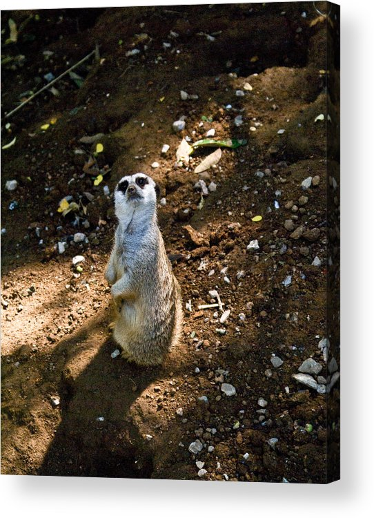 Meerkat Acrylic Print featuring the photograph Meerkat   Say What by Douglas Barnett