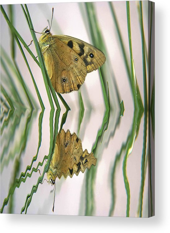 Insects Tasmanian Cradlle Mountain Endangered Species Water Australian Global Warming Acrylic Print featuring the photograph Native Tasmanian Butterfliy. by Sarah King