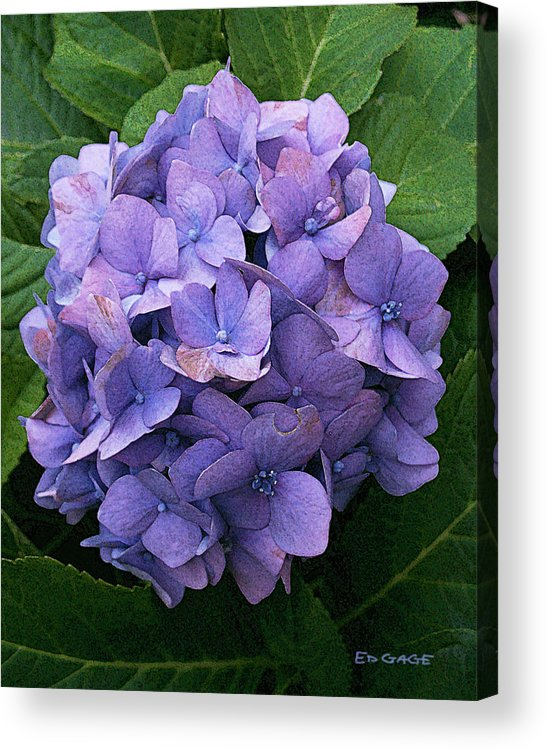Flowers Acrylic Print featuring the photograph Purple Hydrangea by Ed A Gage
