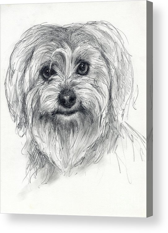 Dog Acrylic Print featuring the drawing Rosie by Tim Thorpe
