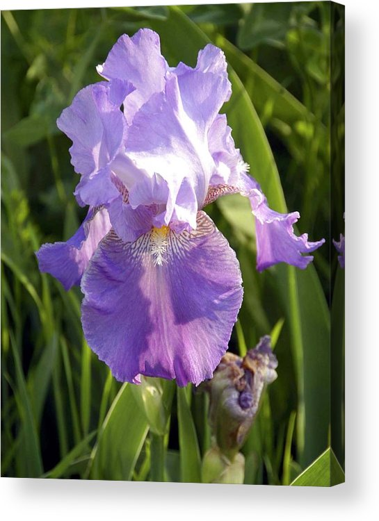 Floral Acrylic Print featuring the photograph Single Iris In Bloom by George Ferrell