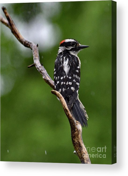 Male Downy Woodpecker Acrylic Print featuring the photograph Sunshine Needed - Male Downy Woodpecker by Cindy Treger