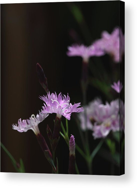 Sweet Williams Acrylic Print featuring the photograph Sweet Williams by Michael Dougherty