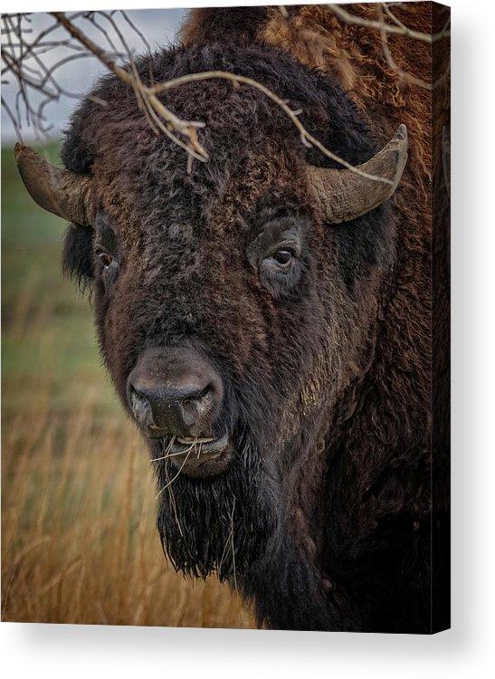 Buffalo Acrylic Print featuring the photograph The Buffalo 2 by Ernie Echols