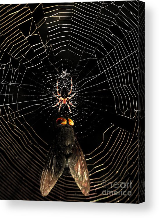 Spider Acrylic Print featuring the photograph The Spider And The Fly by Wingsdomain Art and Photography