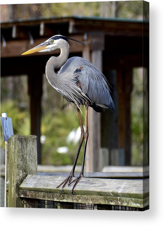 Heron Acrylic Print featuring the photograph Thinking About Lunch by Carol Bradley