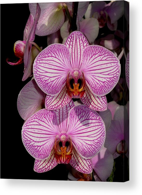 Orchid Acrylic Print featuring the photograph Tickled Pink by Betnoy Smith