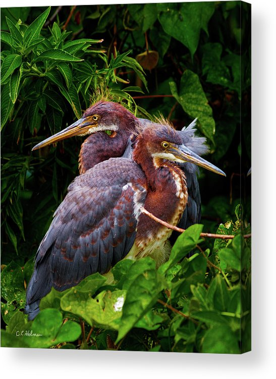 Birds Acrylic Print featuring the photograph Tricolored Siblings by Christopher Holmes