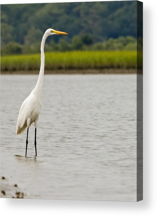 White Egret Standing Water Marsh Bird Crane Acrylic Print featuring the photograph White Egret by William Haney