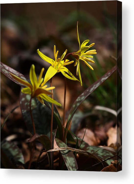 Yellow Dogtooth Violets Acrylic Print featuring the photograph Yellow Dogtooth Violets by Michael Dougherty