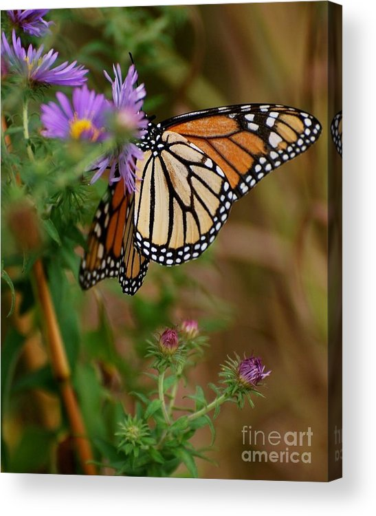 Butterfly Acrylic Print featuring the photograph Butterfly by Deb Cawley