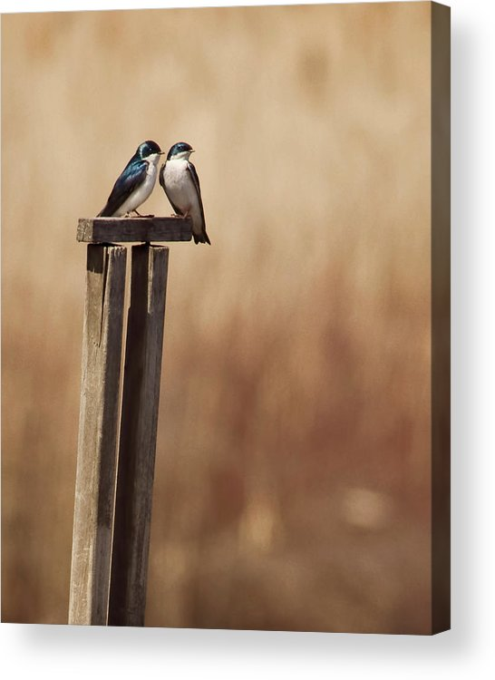 Animal Themes Acrylic Print featuring the photograph Tree Swallows On Wood Post by Jody Trappe Photography