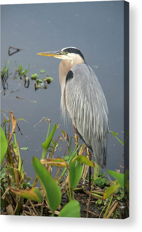 Standing Water Acrylic Print featuring the photograph Great Blue Heron by Mark Newman