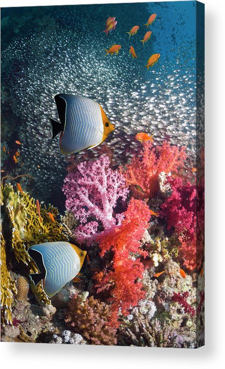 Tranquility Acrylic Print featuring the photograph Butterflyfish Over Coral Reef by Georgette Douwma