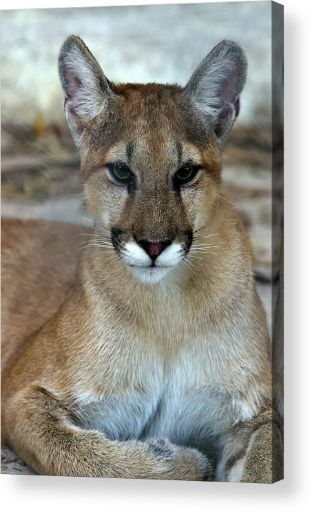 Animal Themes Acrylic Print featuring the photograph Florida Panther, Endangered by Mark Newman