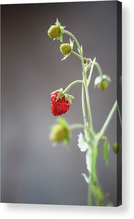 Wild Strawberry Acrylic Print featuring the photograph Germany, Baden Wuerttemberg, Wild by Westend61