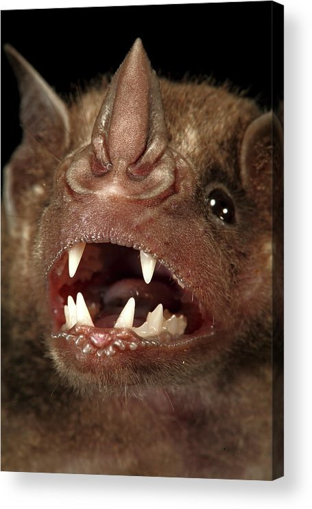 00463278 Acrylic Print featuring the photograph Greater Spear-nosed Bat by Christian Ziegler