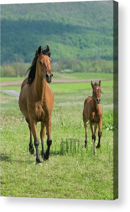 Horse Acrylic Print featuring the photograph Horses Running In Summer Pasture, Mare by Catnap72