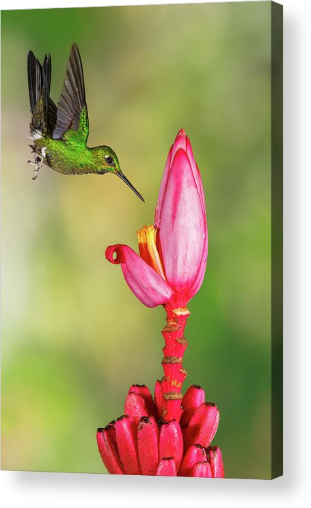 Green-crowned Brilliant Acrylic Print featuring the photograph Hummingbird , Green-crowned Brilliant by Kencanning