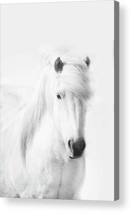 White Background Acrylic Print featuring the photograph Icelandic Pony In White by Grant Faint