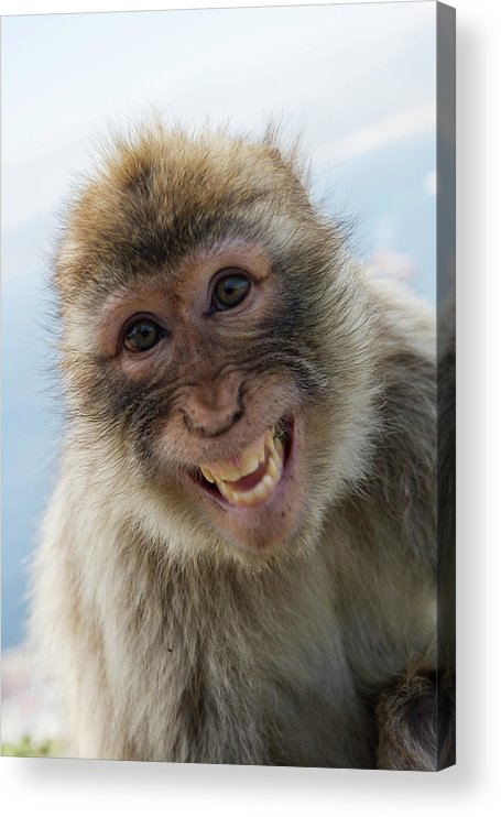 Alertness Acrylic Print featuring the photograph Laughing Gibraltar Ape Barbary Macaque by Holger Leue